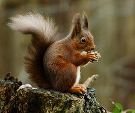 266px-squirrel_posing