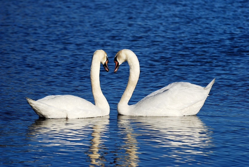 swans-1299971_960_720